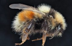 A new bumblebee species, Bombus interacti, discovered with support from INTERACT TA
